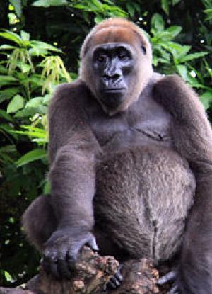 gorila-rio-cross-animales