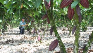 Producción de cacao