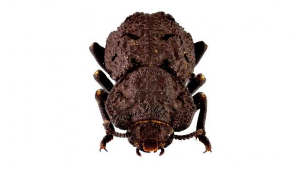 escarabajo-acorazado-diabolicus-creative-commons