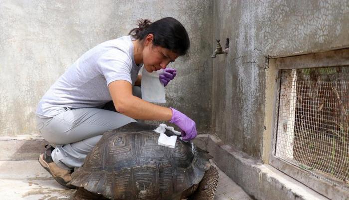 tortuga herida atropellamiento galápagos conductor