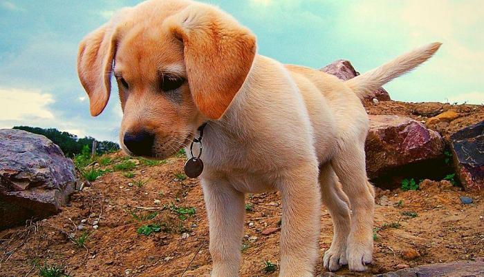 labrador-perros-razas
