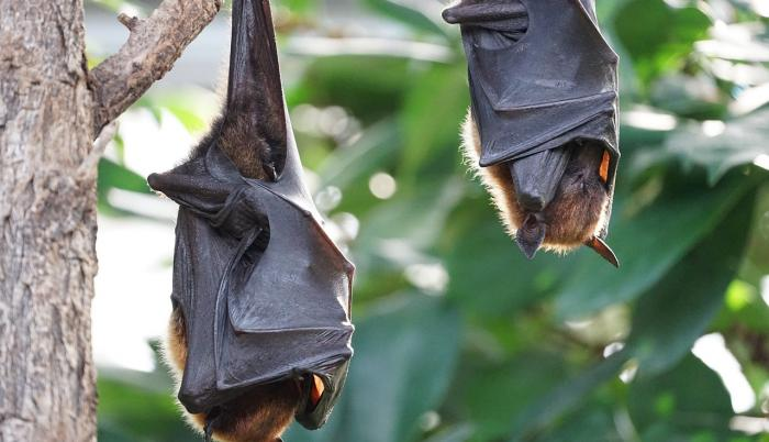 flying-foxes-2237209_1280