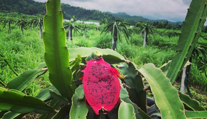 Pitahaya morada