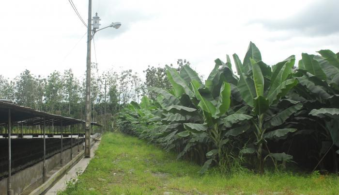 banano hacienda