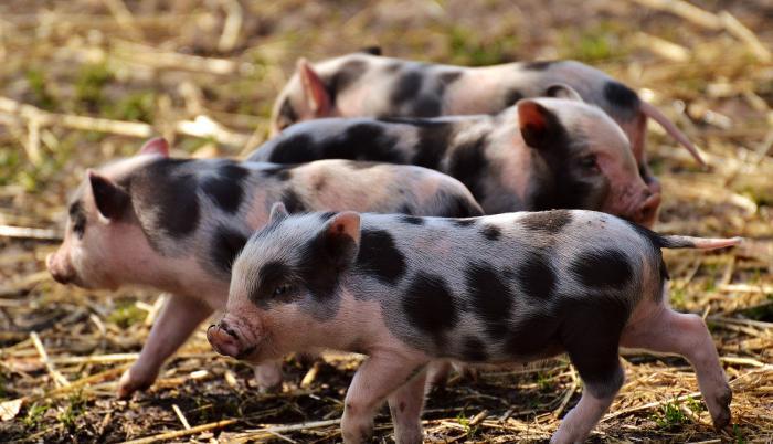 coronavirus-cerdos-pedv-epidemia