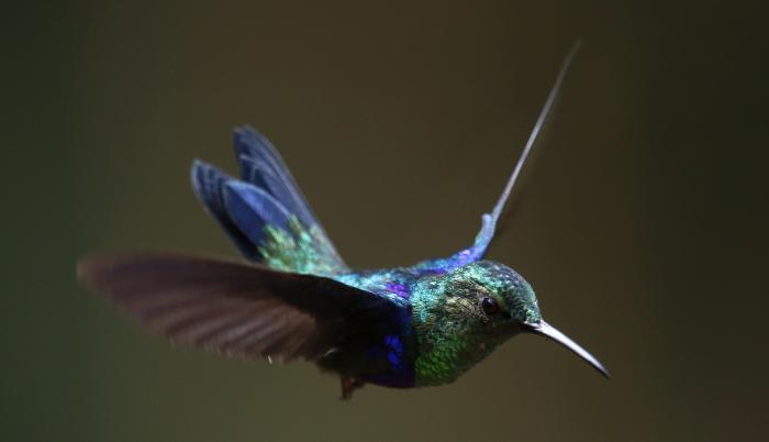 Coronavirus colibríes