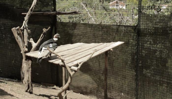 Cóndor-zoológico-rastreo-rescate