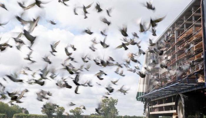carreras-palomas-deporte-coronavirus