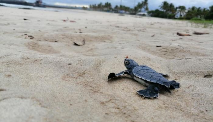 Galápagos_Tortugas_Eclosión_Especies en peligro