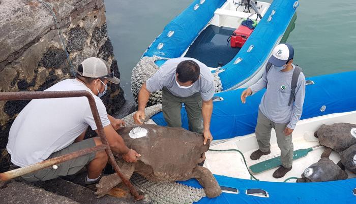 Galápagos_Tortugas_Diego_Inseminación