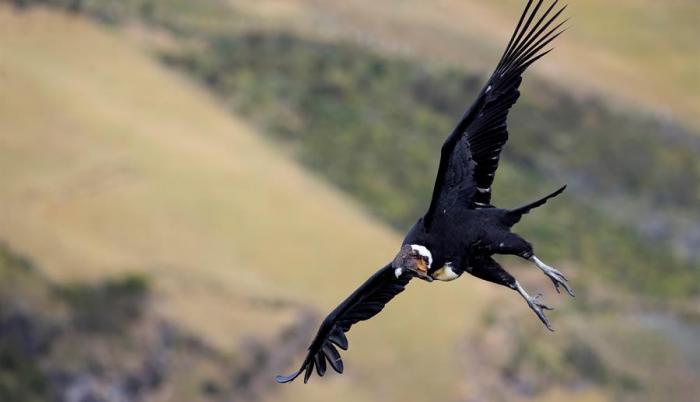 condor-foto-ecuador-chile-colombia-bolivia-ciencia
