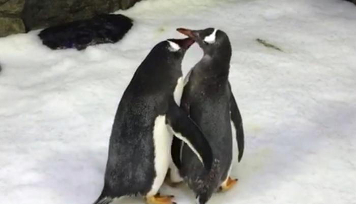 Pareja de pingüinos macho se convierte en padres en Australia