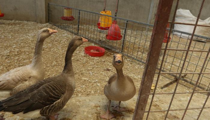 Avícola Jimmy. En este local, ubicado en la vía Perimetral, se faena el animal en el momento de comprarlo.