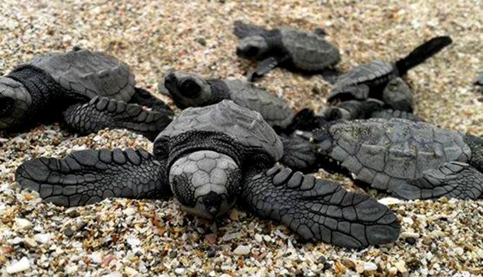 Referencial. Las tortugas marinas son especies protegidas a nivel mundial.