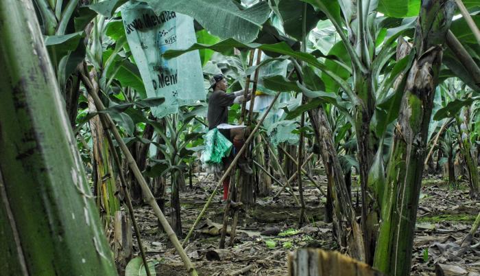 Lo que se requiere. Según la Cámara de Agricultura, es preciso revisar la política salarial en el campo, pues eso también está llevando a la contratación informal.