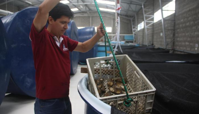 Inicios. La Prefectura señala que el proyecto es exitoso. Falta ver el desarrollo de las ostras en la etapa adulta.