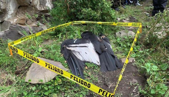 El cuerpo del cóndor fue encontrado en pasado 12 de diciembre.