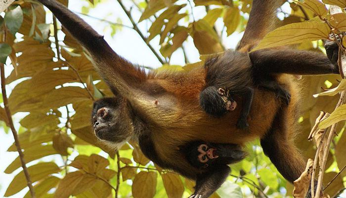 Las situaciones más críticas son la del mono araña (foto) de la costa y el mono capuchino ecuatorial, sobre los que pesa el fantasma de la extinción.