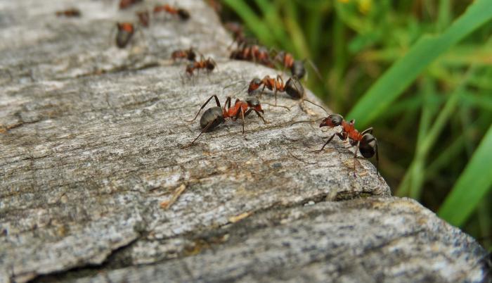 hormigas-naturaleza
