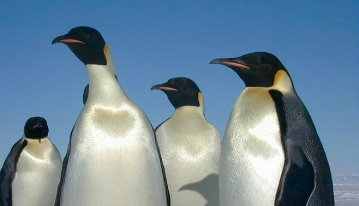 Emperor_penguins