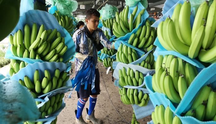 banano+producción+precios bajos