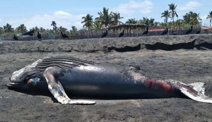 Un aspecto del ballenato varado. Afirman que no mide más de cinco metros.