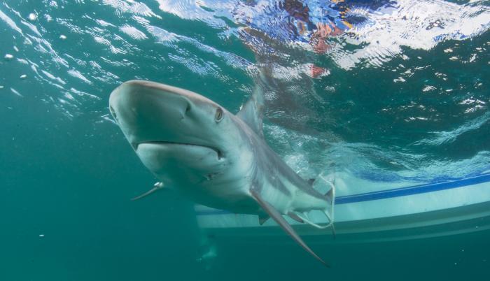 tiburon referencial efe