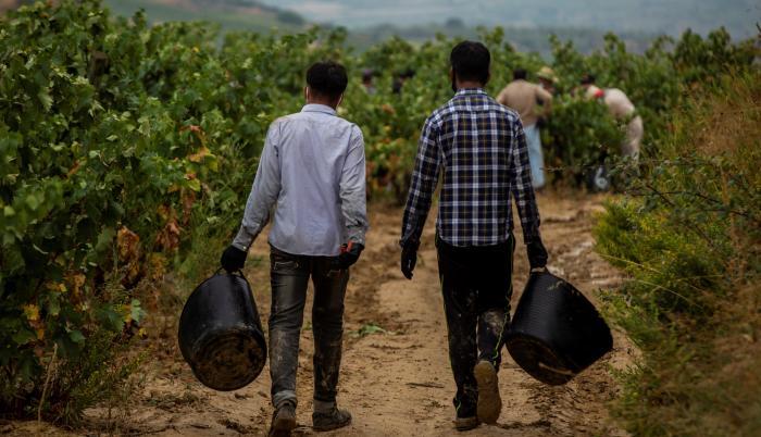 Temporeros pakistaníes trabajan en la vendimia en la localidad de Lapuebla de Labarca, en la Rioja Alavesa.