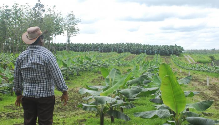 Banano, siembras nuevas