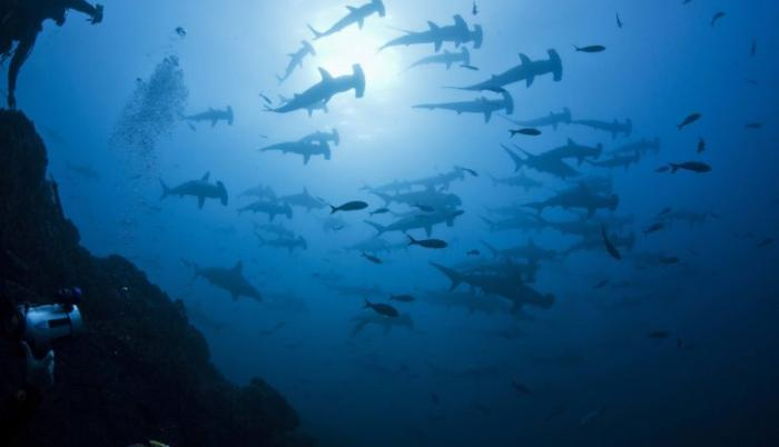 tiburones martillos mongabay