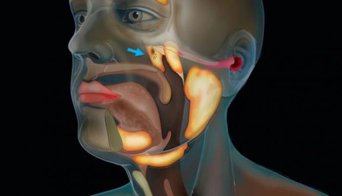 nuevo-organo-cuerpo-humano-glandula-saliba