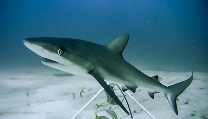 tiburon-caribe-arrecife-extincion