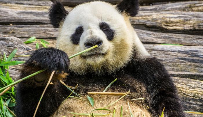 panda-oso-frio-estiercol-investigacion-cientifica