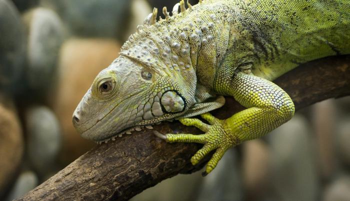 iguana-4185363_1920
