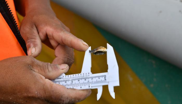 _Las semillas de ostras miden un centimetro