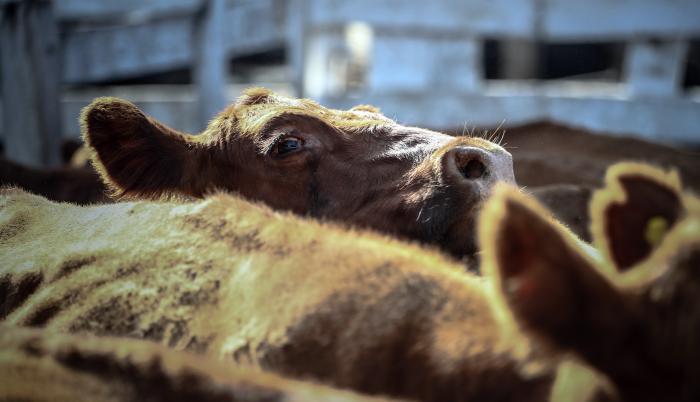 Una lagrima cae del ojo de una vaca que espera ser vendida para luego ser faenada, el 12 de enero de 2021, en el Mercado de Hacienda de Liniers, en la Ciudad de Buenos Aires (Argentina)