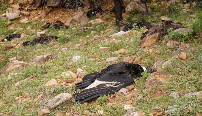 Fotografía cedida este lunes por el Gobierno Autónomo Departamental de Tarija donde se muestran varios cóndores muertos, en Tarija (Bolivia).