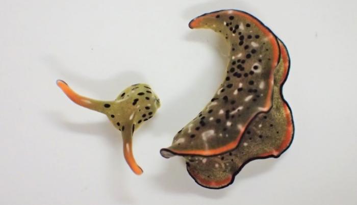 Cabeza y cuerpo de una Elysia cf. marginata, un día después de la separación. El cuerpo desprendido es mucho más pesado (>80% del peso total) que la cabeza.