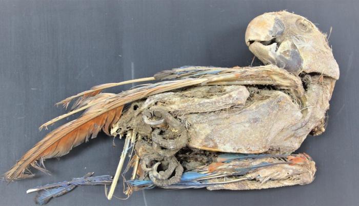 Imagen de un loro momificado del período intermedio tardío, entre 1100 y 1450.