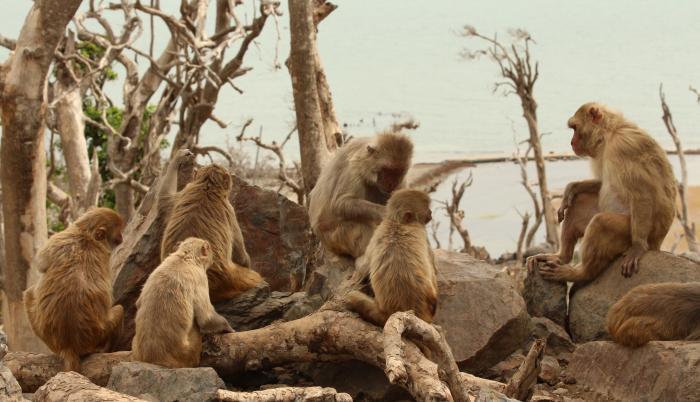 Un grupo de macacos en la isla de Cayo Santiago un año después del huracán María por Puerto Rico.