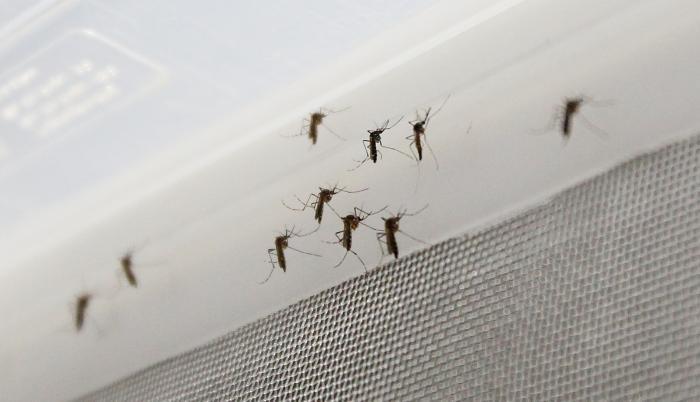 Vista de un grupo de mosquitos Aedes aegypti.